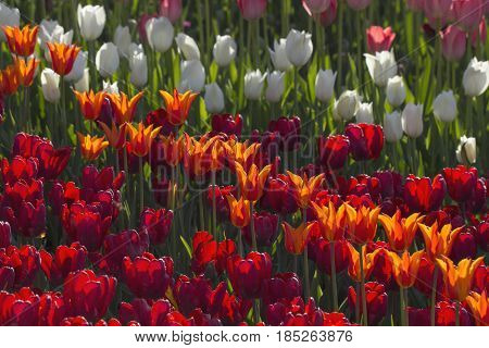 Field of tulips of different colors: orange red and white
