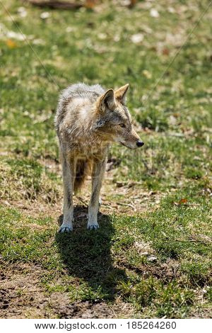 an analysis of the characteristics and behavior of the coyote in north american canids These actions are at the margins of social morality and normal behavior  trickster in native american daughter: coyote builds north america.