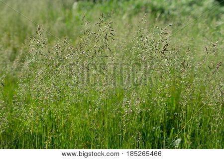 Thin stalks of grass on a green background in Sunny weather