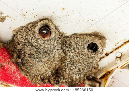 Cliff swallow nesting in the eaves of a lighthouse in Lachine Quebec Canada. Here you can see the female poking her head out of the nest.