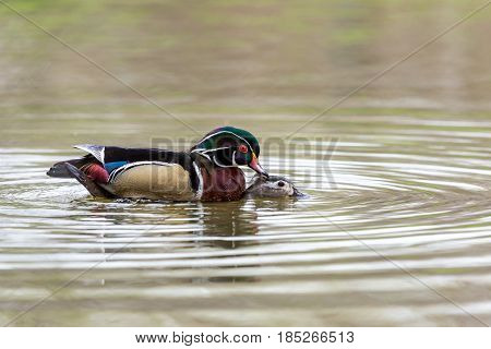 Wood duck male or Carolina duck caught in the act of mating on a pond in Quebec Canada.