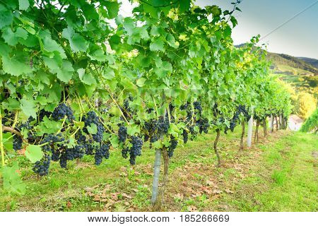 Ripe grapes in a vineyard