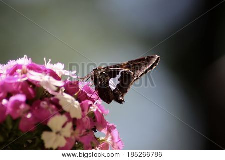 Butterfly alight on a Pink and White Dianthus Bloom