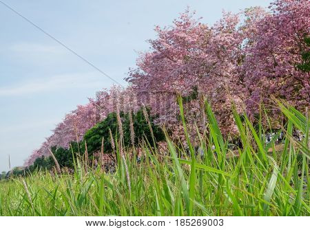 Pantip pink flowers.Pink tabebuya flower. Blooming at the wild field in every April of every yearThailand.