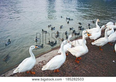 Beautiful Pekin ducks pack around pond  -