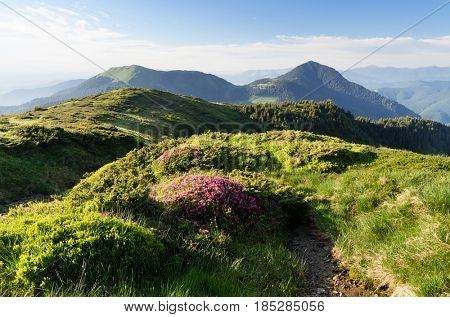 Summer landscape sunny day. Path in the mountains. Bush of the blossoming rhododendron. Carpathians, Ukraine, Europe