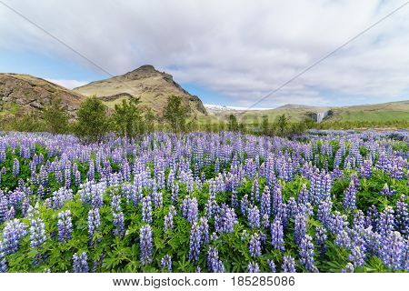 Blooming lupine. Iceland Landscape with flowers and mountain. Location near Skogafoss waterfall