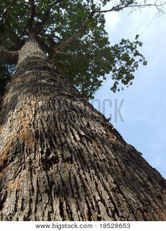 Tall tree with sky at angkor wat