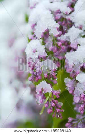 Snow on lilac spring. Global warming effect.