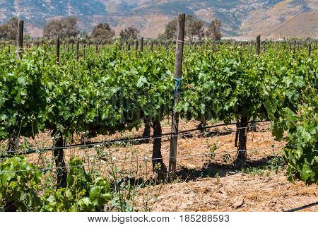 Grapevines at a vineyard located in Baja California in the city of Ensenada, Mexico,