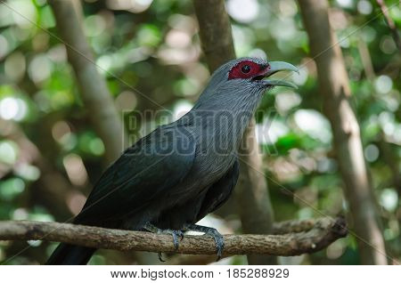 Beautiful of Green billed Malkoha (Phaenicophaeus tristis) in tropical forest Thailand