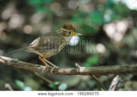 Beautiful Bird Puff-throated Babbler In Nature