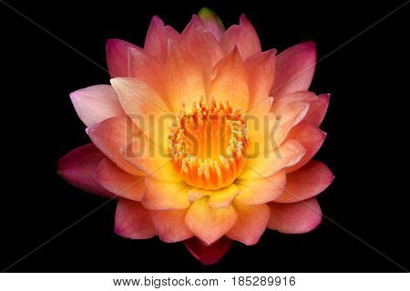 Close up blooming waterlily or lotus flower isolated on black background.
