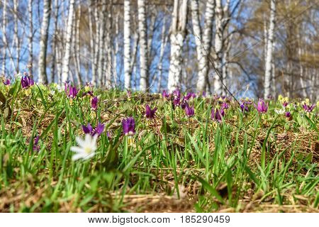 Beautiful spring floral background with burgundy delicate flowers Erythronium sibiricum in the grass close-up on a blurred background of trunks of birches