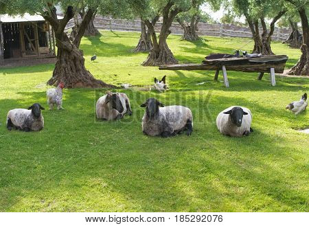 view of idyllic barn-yard  with sheep laying on fresh grass