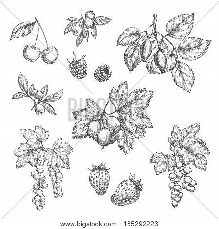Berries sketch vector icons set. Cherry and forest blueberry or black currant and redcurrant branch, garden strawberry or raspberry and farm gooseberry harvest design for jam or juice and market shop