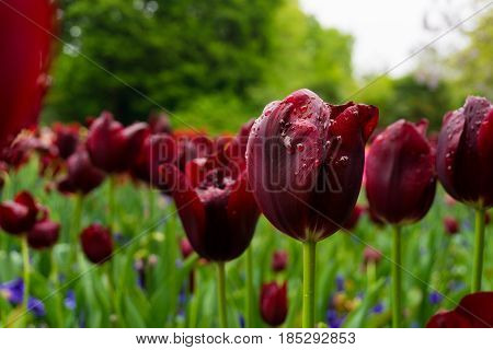 Raindrops on a Red Flower. Close-up of a Tulip (Tulipa) on a rainy Day. Morning Dew on a Red Tulip. A Field full of Red Flowers. Garden Flowers. Spring Flowers