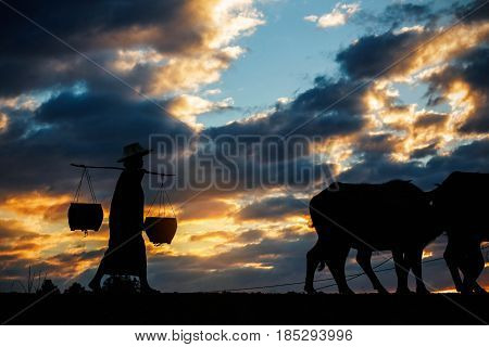 Farmer woman with buffalo on the field at sunset.