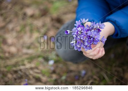 Closeup of child's hands with small bunch of beautiful blue snowdrops. Spring mood. Kid boy with flowers in the forest.
