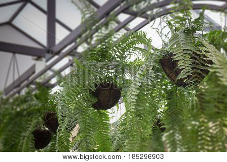 Hanging Green Plant Pot From Roof stock photo