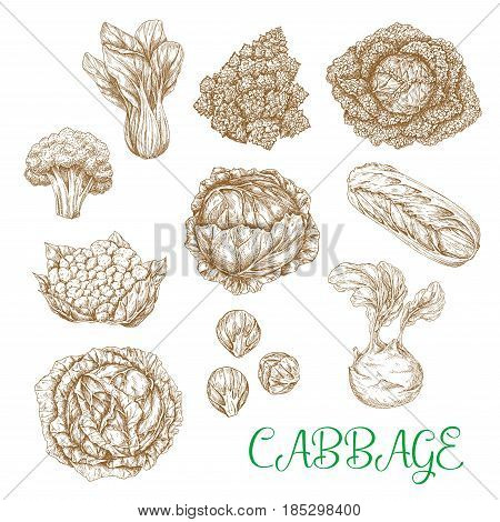 Cabbages vegetables sorts vector sketches. Set of leafy veggies white and red cabbage or cauliflower, chinese napa and romanesco broccoli, kohlrabi and brussels sprouts, bok choy and pak choi kale