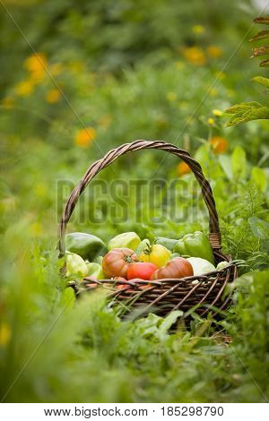 Basket with organic vegetables on the green grass. Outdoors. freshly harvested vegetables. raw vegetables in wicker basket. summer garden background.