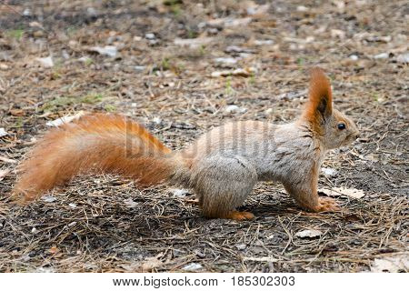 Wild Squirrel In Their Environment