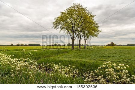 Trees with fresh young green budding leaves in a Dutch polder landscape on a cloudy day in the spring season. In the foreground cow parsley and other wild plants are flowering.