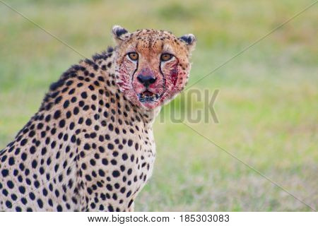 A cheetah (Acinonyx jubatus) with his face bloody from a fresh kill. Ol Pejeta Conservancy Kenya.