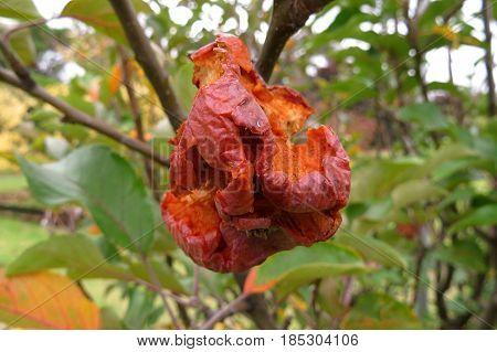 A bad apple rotten decay dead on a fruit tree in garden