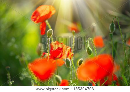 Poppy flowers field nature spring background. Blooming Poppies on wind. Rural landscape with red wildflowers and sun flare.