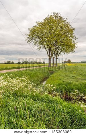 Trees with fresh young green budding leaves next to a longs country road in a Dutch polder landscape on a cloudy day in the spring season. In the foreground white blooming cow parsley.
