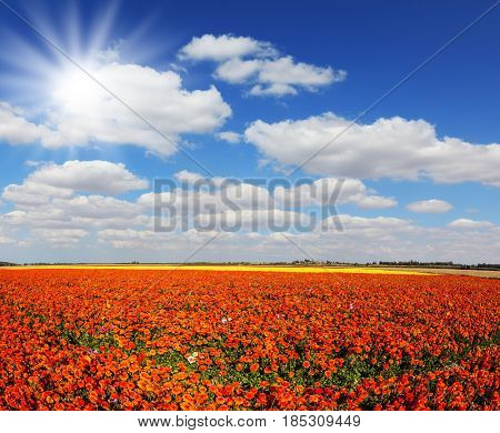 Clear spring day. The bright southern sun illuminates the fields of red garden buttercups- ranunculus. Concept of rural tourism