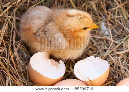 baby chicken with broken eggshell in the straw nest.