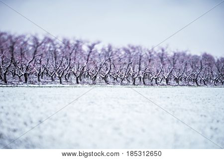 a peach tree farm in winter snow