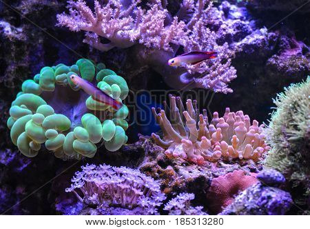 Reef tank, marine aquarium. Aquarium full of plants. Clavularia. Neon green bubble coral. Zoanthus. Nemateleotris decora. Green bubble coral. Tank filled with water, live underwater animals.