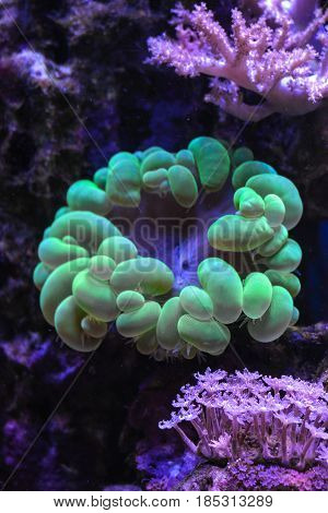 Reef tank, marine aquarium. Blue aquarium full of plants. Neon green bubble coral. Clavularia. Zoanthus. Tank filled with water for keeping live underwater animals.