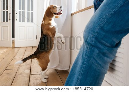 Beagle dog stands on its hind legs and looks out the window. In the foreground sits the owner of a dog.