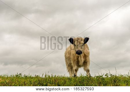 White galloway calf with a thick coat and black ears curiously looking at the photographer while standing on top of a dike.