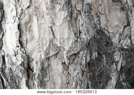 bark of tree . Background texture. Photo for your design.