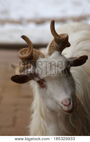 A Domestic Goat (capra Aegagrus Hircus) Tilting Its Head