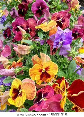 Motley summer flowerbed of blooming varicolored pansy flowers (Viola tricolor)