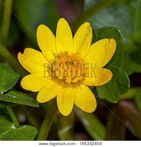 A small Marsh marigold yellow flower in the early spring in the garden