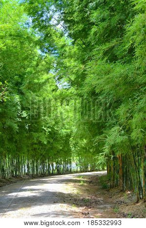 Japanese bamboo tunnel forest garden road way
