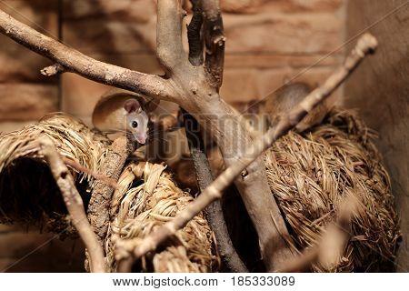 Eastern Spiny Mice (acomys Dimidiatus) On Straw