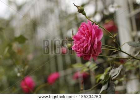 The Beautiful Red Roses and fuzzy background