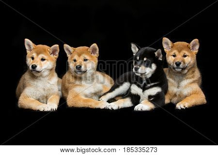 Four beautiful brown and black japanese shiba inu puppy dogs lying over black background. Copy space.