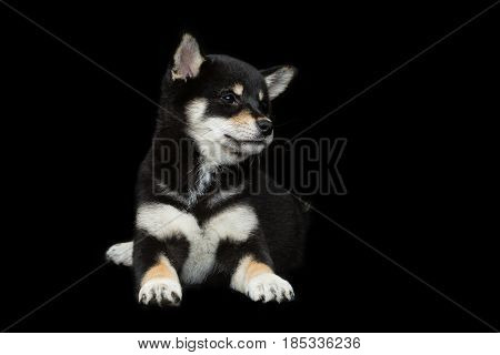 Beautiful black japanese shiba inu puppy dog lying over black background. Copy space.