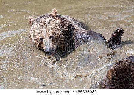 Brown bear couple cuddling in water. A couple of brown bears play in the water. Swallow bears. Close-up view of the bears in the lake. Portrait of a brown bear.