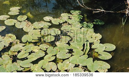 Close-up Of Water Lilies On The Water Surface. Wild Lake In The Forest With Water Lilies And Lilies